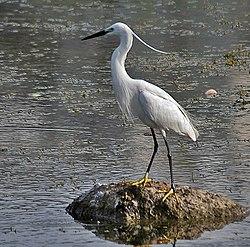 Малая белая цапля — Википедия