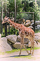Little Giraffe Walking (20441952840).jpg