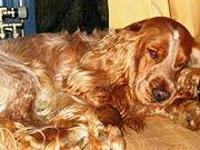 Cocker dourada dormindo.