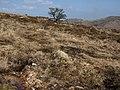 Lone hawthorn, Hamel Down - geograph.org.uk - 1236402.jpg