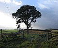 Lonesome Pine on the track to Muirfield - geograph.org.uk - 283414.jpg