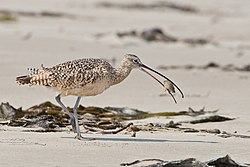 Long-billed Curlew eating sand crab.jpg