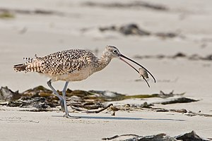 Long-billed curlew - Eating a sand crab
