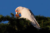 Long billed corella eating walnut.jpg