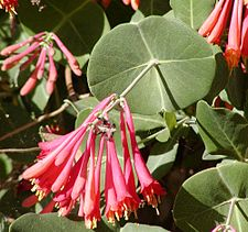 Lonicera sempervirens close.jpg