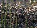 Loon nest.jpg