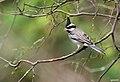 Lophospingus pusillus en el Parque Nacional Teniente Enciso.jpg