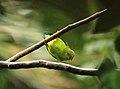 Loriculus vernalis in a Rambutan tree @ Kanjirappally.jpg