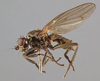 <i>Lotophila atra</i> species of fly