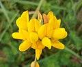 Lotus pedunculatus - Inflorescence-1.jpg