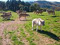 Loups de Mongolie (Canis lupus chanco)2.JPG