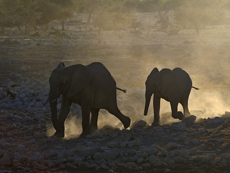 (*�.�(`�.����� ����� ������ ������ Etosha 799px-Loxodonta_africana_(Rush_for_the_water).jpg