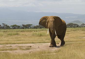 ebd0b220d Elephant hunting in Kenya - Wikipedia