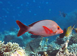 Humpback red snapper (Lutjanus gibbus)