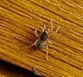 Lycosidae, wolf spider (33357935664).jpg