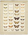 MA I437616 TePapa Plate-XVII-The-butterflies full.jpg