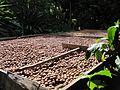 Macadamia-nut-912598.jpg