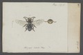 Macropis - Print - Iconographia Zoologica - Special Collections University of Amsterdam - UBAINV0274 045 05 0064.tif
