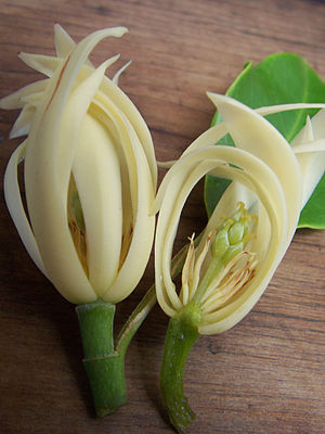 Magnolia × alba - Image: Magnolia x alba blossoms