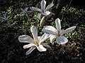 Magnolia kobus,Forstbot. Garten, Köln.jpg