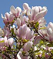 Magnoliali.jpg