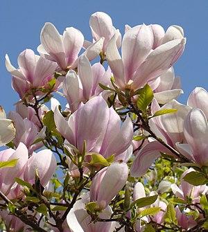 English: Magnolia × soulangeana Français : Mag...