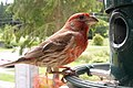 Male House Finch profile (23910087075).jpg