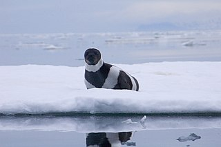 Ribbon seal Species of mammal