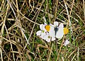 Male orange tip butterfly - geograph.org.uk - 1268167.jpg