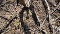 Mammillaria heyderi (26058968586).jpg