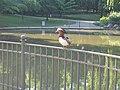 Mandarinerpel am großen Teich im Juni 2011 - panoramio.jpg