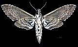 Manduca rustica MHNT CUT 2010 0 68 Palenque Mexico Male ventral.jpg