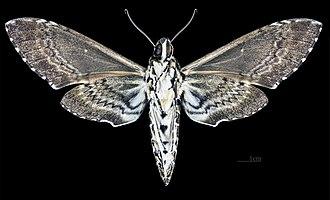 Manduca rustica - Image: Manduca rustica MHNT CUT 2010 0 68 Palenque Mexico Male ventral