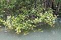 Mangroves of San Juan, Batangas 5.jpg
