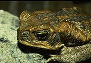 Marine toad Bufo marinus USGS Photograph.sized
