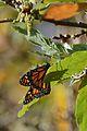 Mariposa Monarca, Monarch butterfly, Danaus plexippus (16505691882).jpg