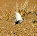 Masked woodswallow 1 (18335311362) (cropped).jpg