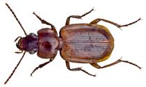 Masoreus affinis