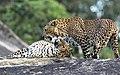Mating leopards.jpg