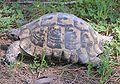 Maurische Landschildkröte.jpg