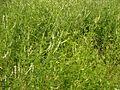 Melilotus albus20140704 158.jpg