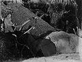 Men cutting through a kauri log (AM 88394-1).jpg