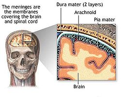 Meninges diagram.jpg