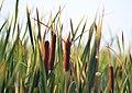 Mentor Marsh Nature Preserve (9597708648).jpg