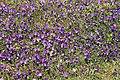 Meppen - Borkener Paradies + Viola tricolor 08 ies.jpg