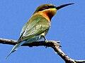 Merops philippinus, Ridiyagama, Sri Lanka.jpg