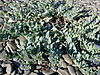 Mertensia maritima 1.jpg