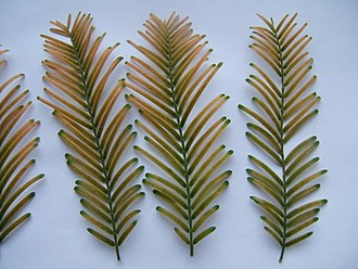 Cupressaceae - Fallen foliage sprays (cladoptosis) of Metasequoia