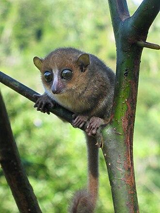 Gerp's mouse lemur - Image: Microcebus gerpi 001