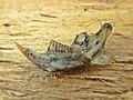 Microtus arvalis (Cricetidae) (Common Vole), Elst (Gld), the Netherlands - 2.jpg